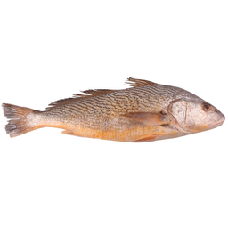 Corvina Inteira Fresca