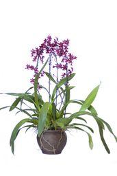 Orquídea Cherry Baby