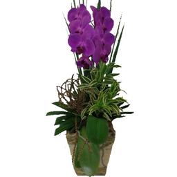 Orquídea Phalaenopolis Roxa Un