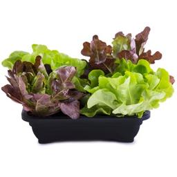 Alface Baby Salada Viva Un