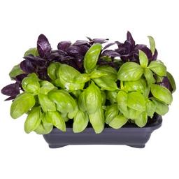 Salada Viva Manjericão
