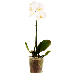 Flor Orquidea Phalaenopsis