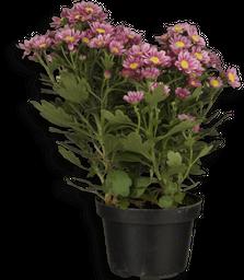 Flor Crisantemo P11