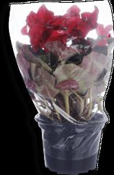 Flor Cyclamen Pote 14