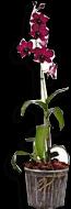 Flor Orquídea Denphalen Pt15 1 Unidade
