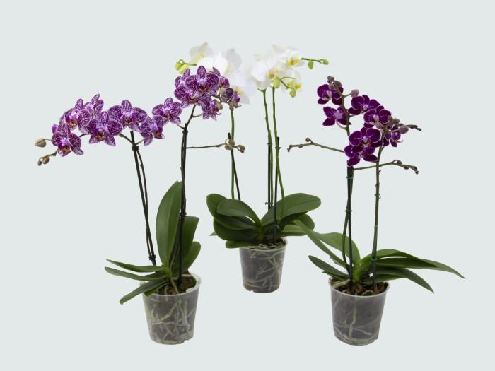 Orquídea Phalaenopsis (variada)