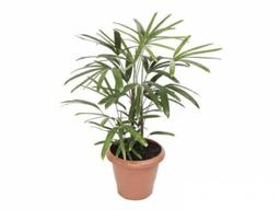 Planta Palmeira Raphis P24