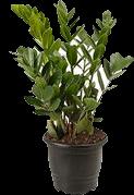 Planta Zamioculcas Pt 17 1 Unidade