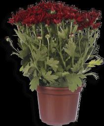 Flor Crisantemo Grande Pote 13 1 Und