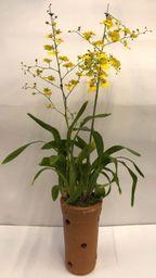 Orquídea 1 Penno