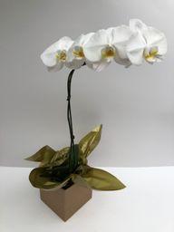 Orquídea Phalaenopsis Especial Penno
