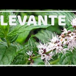 Erva Levante - Pacote 50g